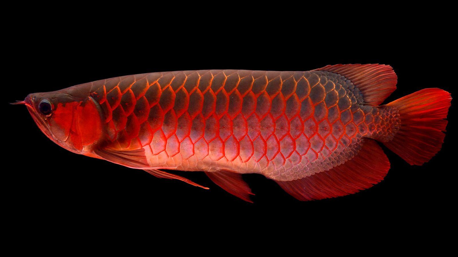 Der Asiatische Arowana, auch Drachenfisch genannt, wird von den Chinesen aufgrund seiner roten Farbe und münzähnlichen ...