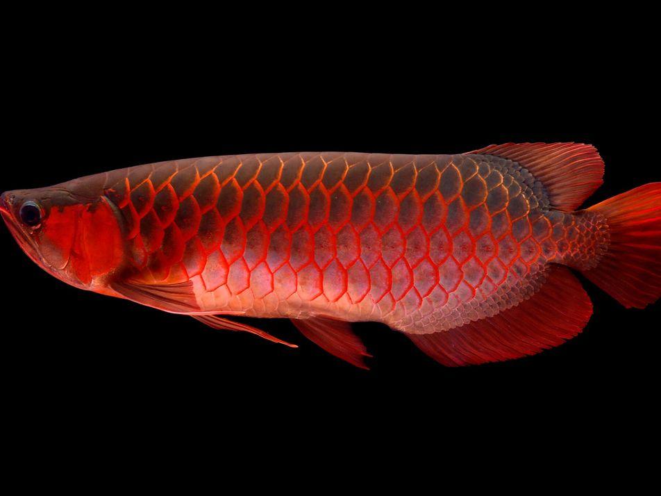 Fischmafia und Polizeischutz: Der teuerste Zierfisch der Welt