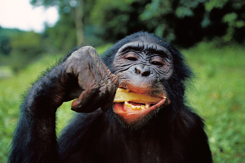 Schimpansen würden kochen, wenn sie könnten