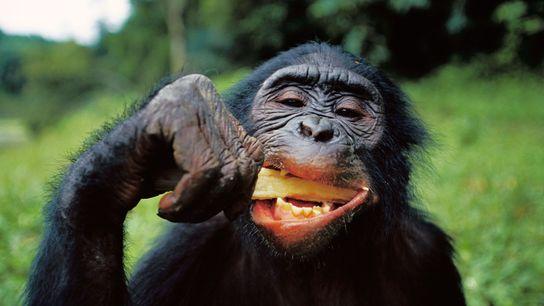Genau wie andere Tiere fressen Schimpansen ihre Nahrung roh. Im Gegensatz zu allen anderen verfügen sie ...