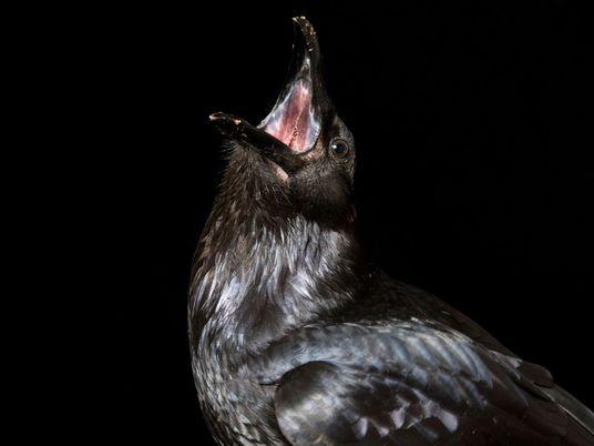 Halten Krähen Trauerfeiern für ihre Toten ab?