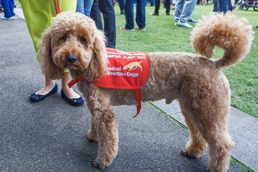 Ein Diabetikerwarnhund in London. Solche Hunde durchlaufen eine umfassende Ausbildung.
