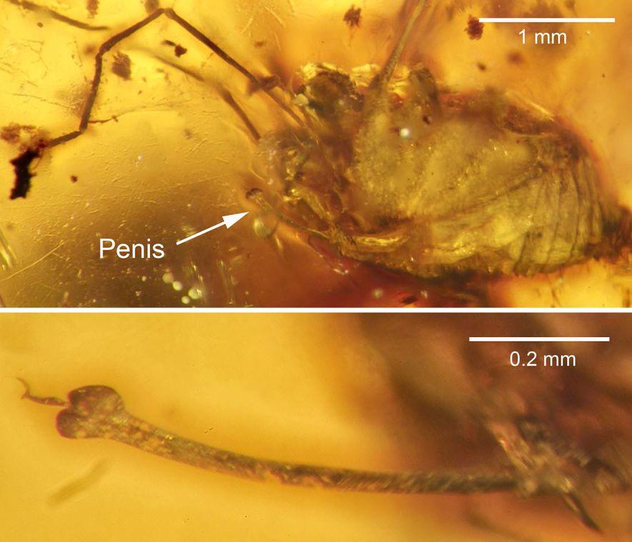 Spinnenfossil: Erektion für die Ewigkeit