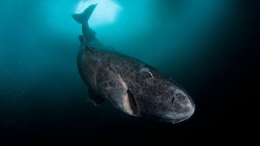Mindestalter 272 Jahre: Kein Wirbeltier wird älter als diese Haie