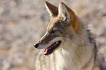 1995 machte das Gerücht die Runde, dass Kojoten in Kalifornien (hier zu sehen ist ein Tier ...