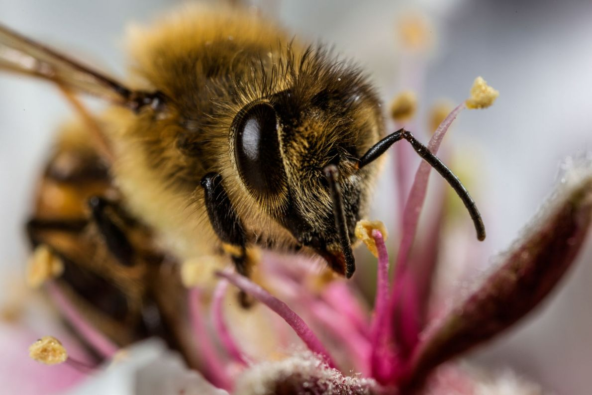 Bienen fliegen zur nächsten Blume auf der Suche nach Nahrung und bestäuben Blüten