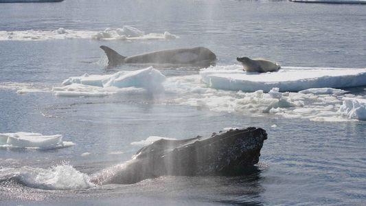 Buckelwale beschützen andere Tiere vor Orcas