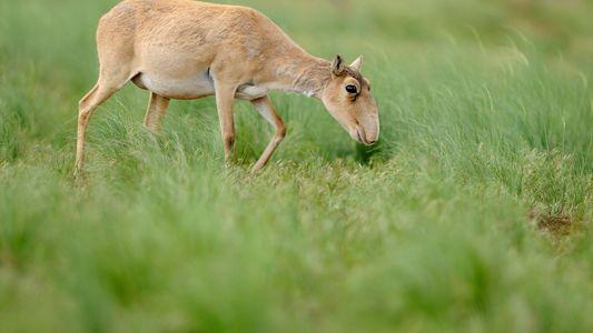Galerie: Ursache für den Tod von 200.000 Antilopen geklärt
