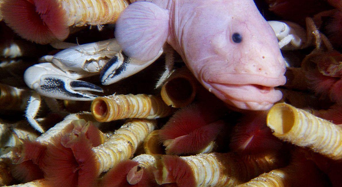Die Bartwurmart Riftia pachyptila (rot), ein Fisch aus der Familie der Aalmuttern und eine Krabbe streiten ...
