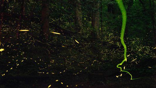 Warum leuchten Glühwürmchen?