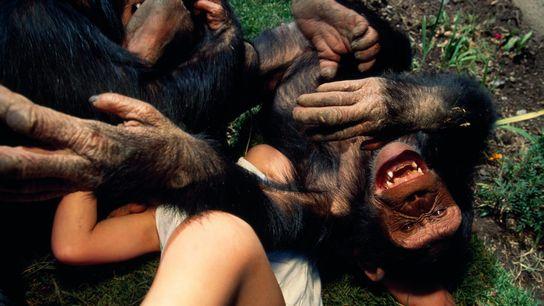 Schimpanse spielt