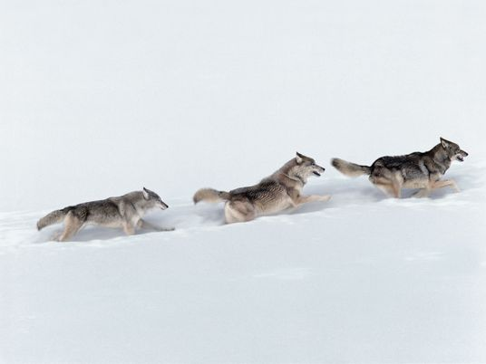 Fotogalerie: 12 Mal Wolf aus aller Welt