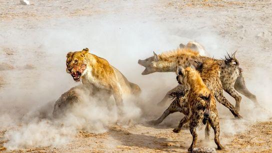 Wir trafen am späten Abend an einem Wasserloch im Etosha-Nationalpark ein. Vier Löwen fraßen gerade einen ...