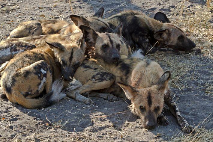 Ein Rudel Afrikanischer Wildhunde in Botswana. Die Forscher beobachteten, dass der Rang des Mitglieds, das eine ...