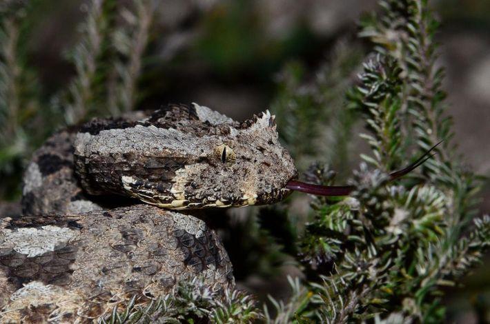 Bitis cornuta albanica