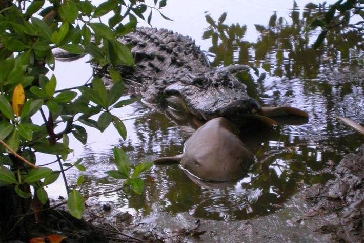 Alligator hat Ammenhai erlegt