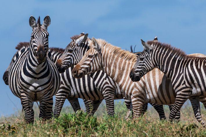 Das ungewöhnliche Zebra scheint von den anderen Herdenmitgliedern akzeptiert zu werden. Zebras erkennen einander hauptsächlich am ...