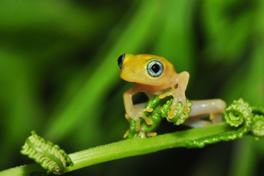 Ein junger Madagaskarfrosch der Art Boophis sp. sitzt auf einer zarten Farnspitze. Der von National Geographic ...