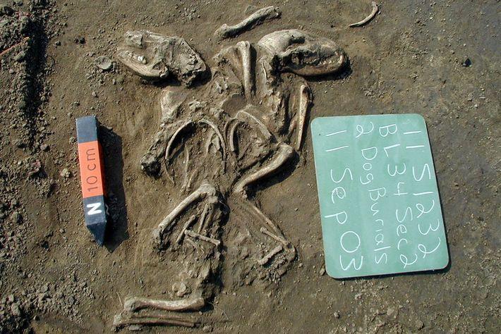 Wissenschaftler analysierten die Gene von mehr als 70 frühen Hunden, die vor der europäischen Besiedlung in ...