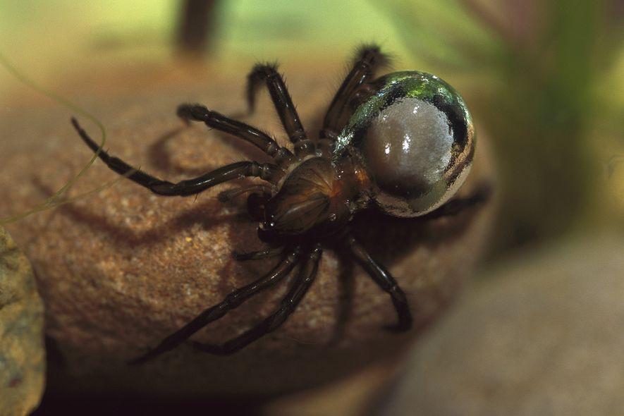 """Diese Spinne baut sich ein """"Luftschloss"""" unter dem Meer"""