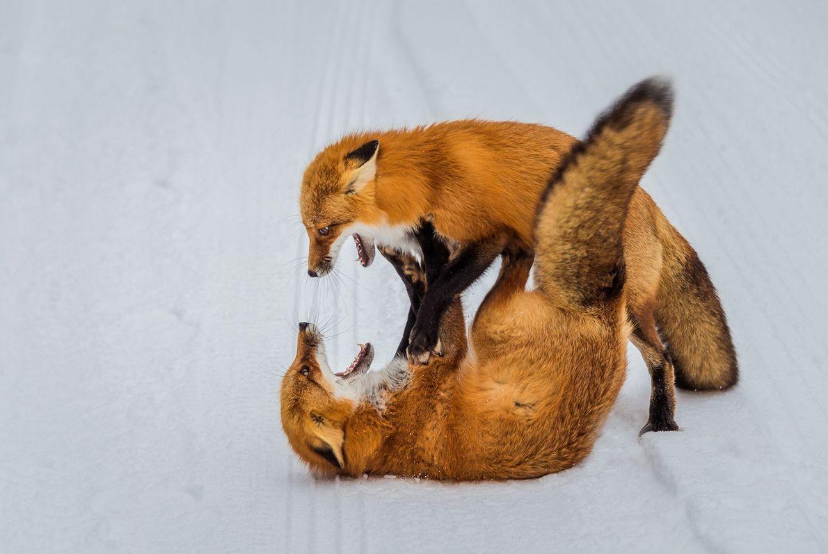 Rotfüchse kämpfen im Schnee