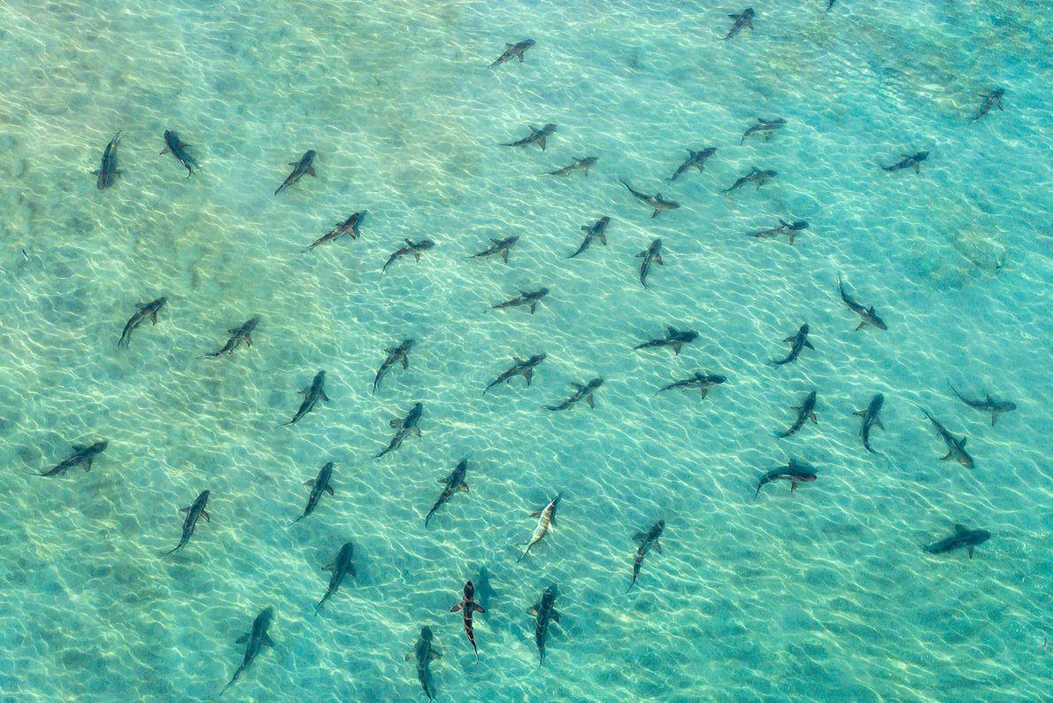 Schwarzspitzenhaie