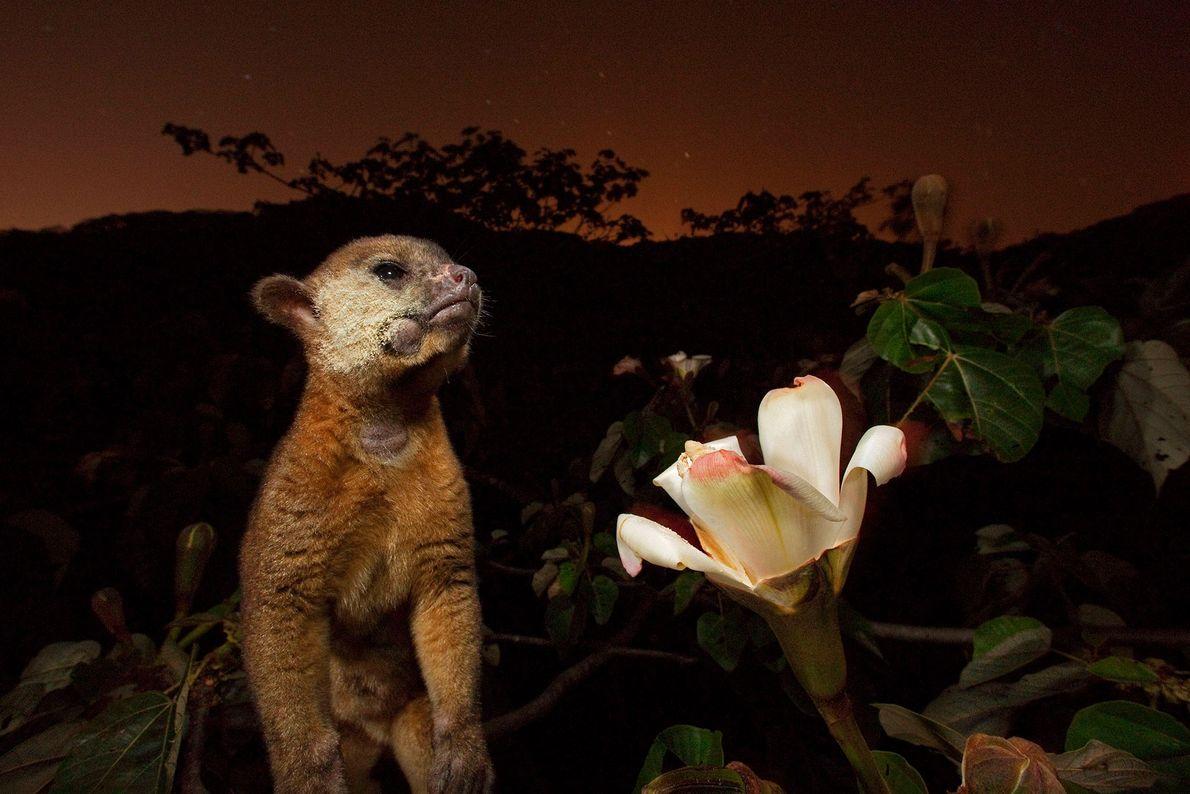 Ein Wickelbär frisst in Panama Nektar aus der Blüte eines Balsabaums. Sein Gesicht ist voller Blütenstaub.