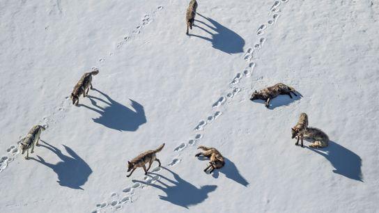 Im Pelican Valley im Yellowstone-Nationalpark untersucht ein Wolfsrudel die Spuren eines Grizzlybären.