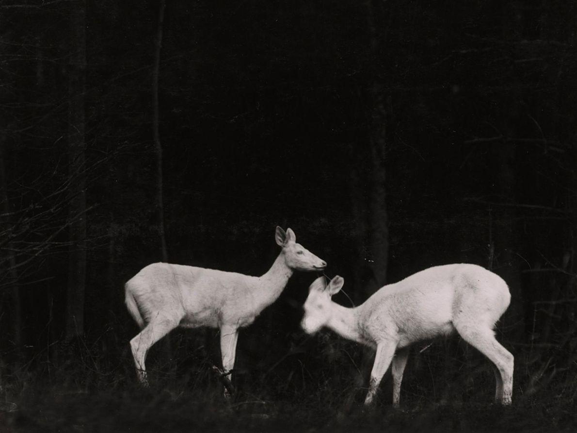 Im Juli 1906 erschien die erste Ausgabe des National Geographic Magazins, die Fotos von Tieren enthielt. ...