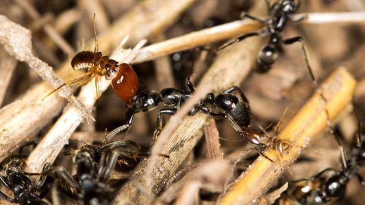 Galerie: Ameisen retten verletzte Artgenossen und behandeln ihre Wunden