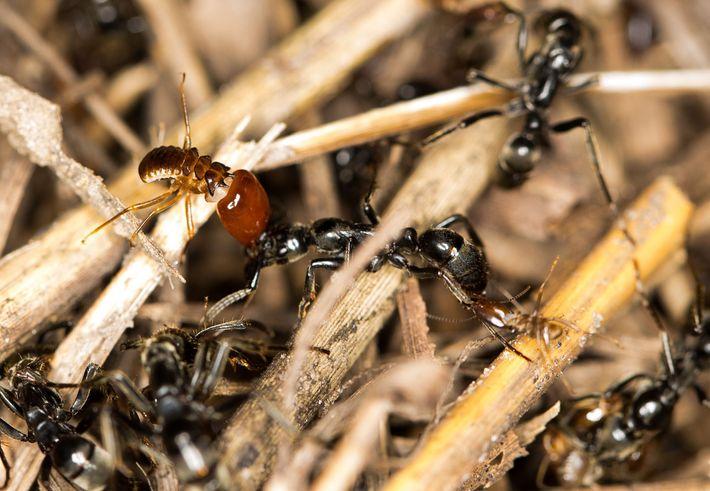Termitensoldaten klammern sich während eines Überfalls an den Kopf und die Hinterbeine der Ameise in der ...