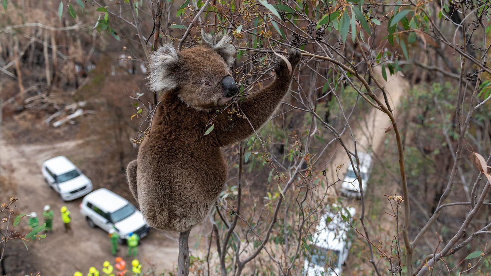 Ein Koala, der die Buschfeuer überlebt hat
