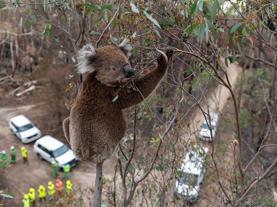 Koalas in der Einöde: Australiens Beuteltiere nach dem Inferno
