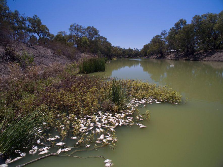 Das Fischsterben im Darling River in New South Wales hing mit der Dürre zusammen und war ...