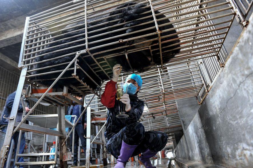 Chinesische Arbeiter von Guizhentang Pharmaceutical extrahieren im Jahre 2012 Bärengalle. Das Unternehmen ist in der Provinz Fujian ansässig.