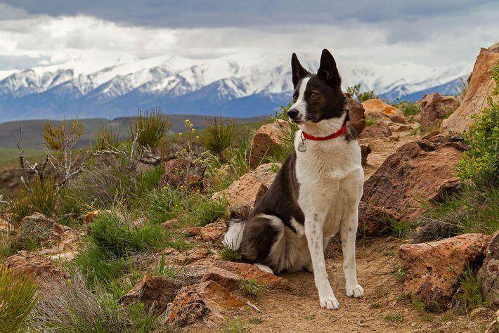 Karelische Bärenhunde (hier abgebildet ist Orca in Nevada) wurden ursprünglich zur Großwildjagd in Europa gezüchtet.