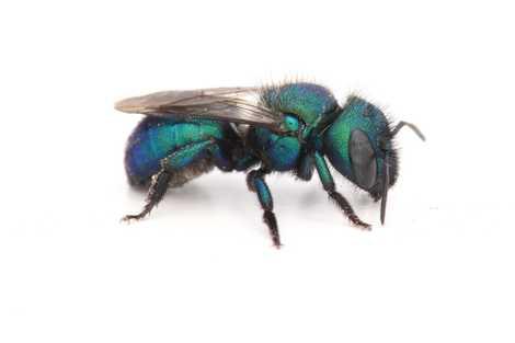 Bienen der Gattung Osmia, wie diese blau-grün schimmernde, heißen Mauerbienen, weil sie ihre Nester gerne aus ...