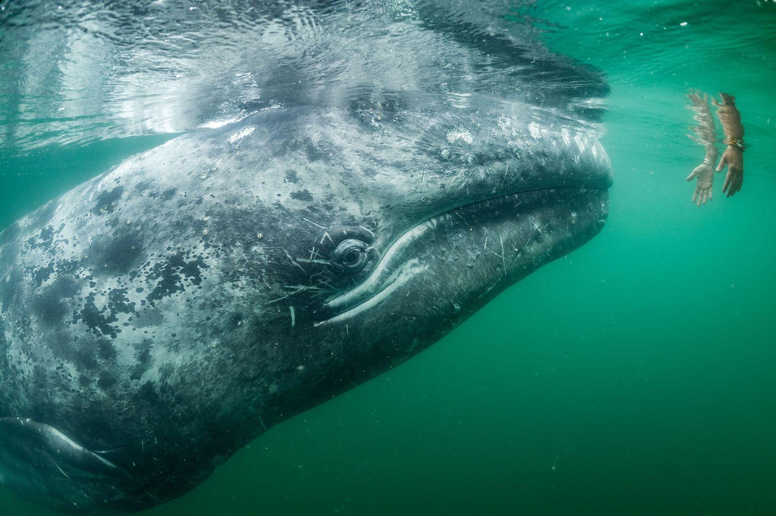 Ein Tourist greift in Laguna San Ignacio ins Wasser in der Hoffnung, einen der vielen Grauwale ...