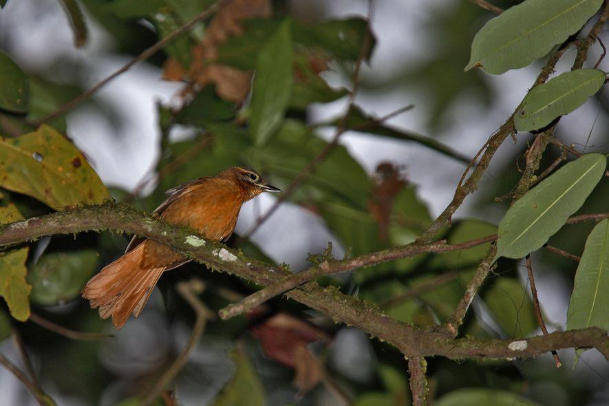 Früher war der Alagoas-Blattspäher im Nordosten Brasiliens beheimatet. Inzwischen könnte er ausgestorben sein.
