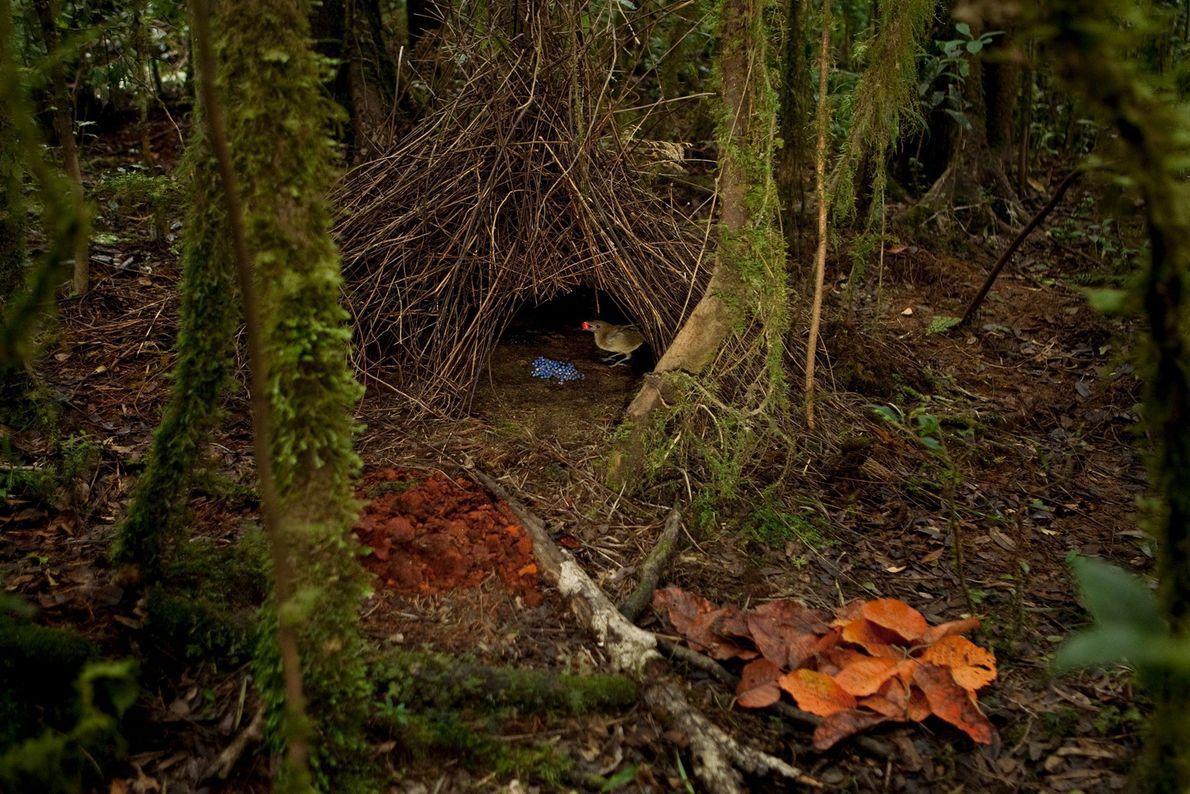 Ein Hüttengärtnermännchen steht im Eingang seiner Laube. Er hält eine orangefarbene Frucht im Schnabel, die er ...