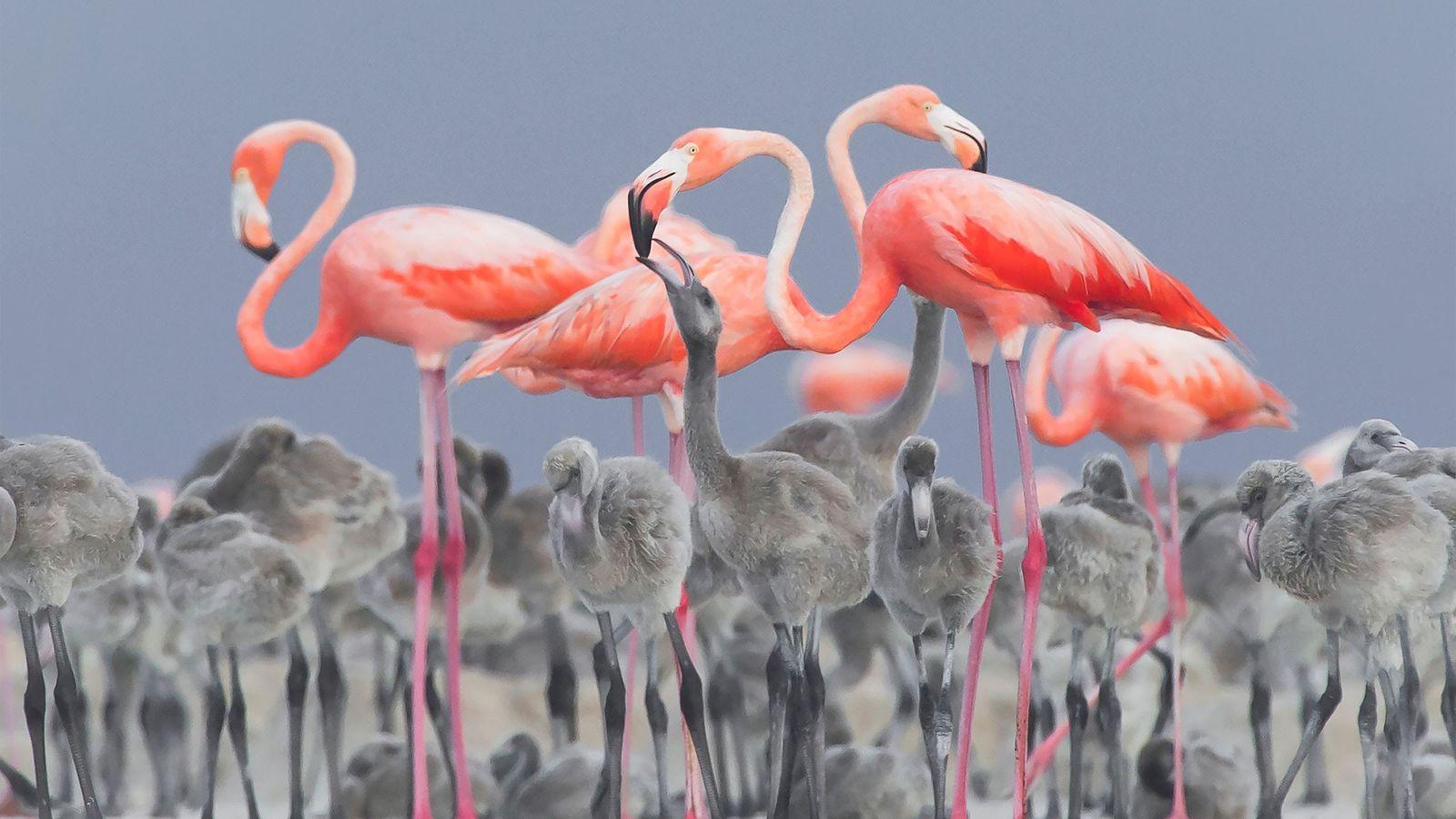Flamingos füttern ihre Küken in Río Lagartos, Mexiko.