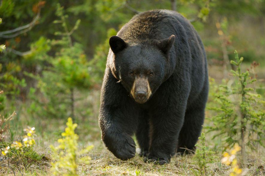 Schwarzbären sind für ihre Aggressivität bekannt, aber Menschen greifen sie nur selten an.
