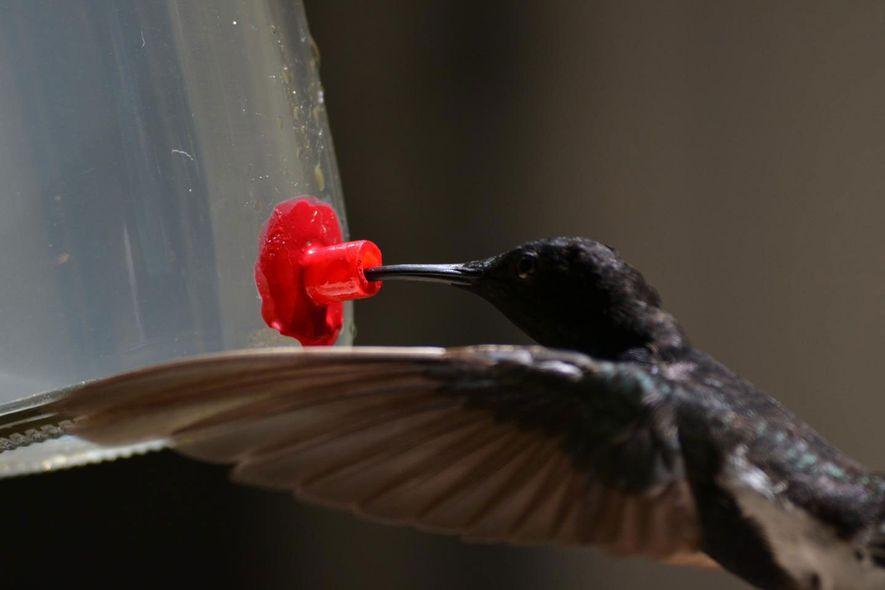 Der Schwarzkolibri hat einen besonders hochfrequenten Ruf, der eigentlich über der bekannten Hörschwelle von Vögeln liegt.
