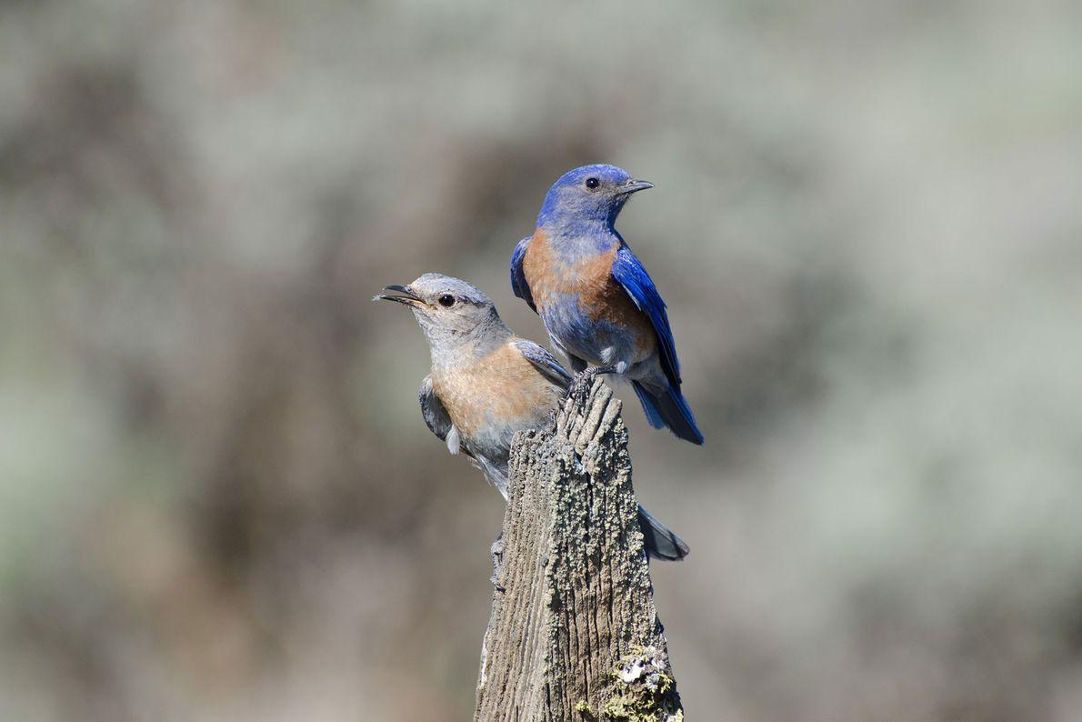 Aggressive Blaukehl-Hüttensänger sind gut darin, neue Reviere zu erobern. Ihre eher schüchternen Artgenossen ziehen allerdings mehr ...