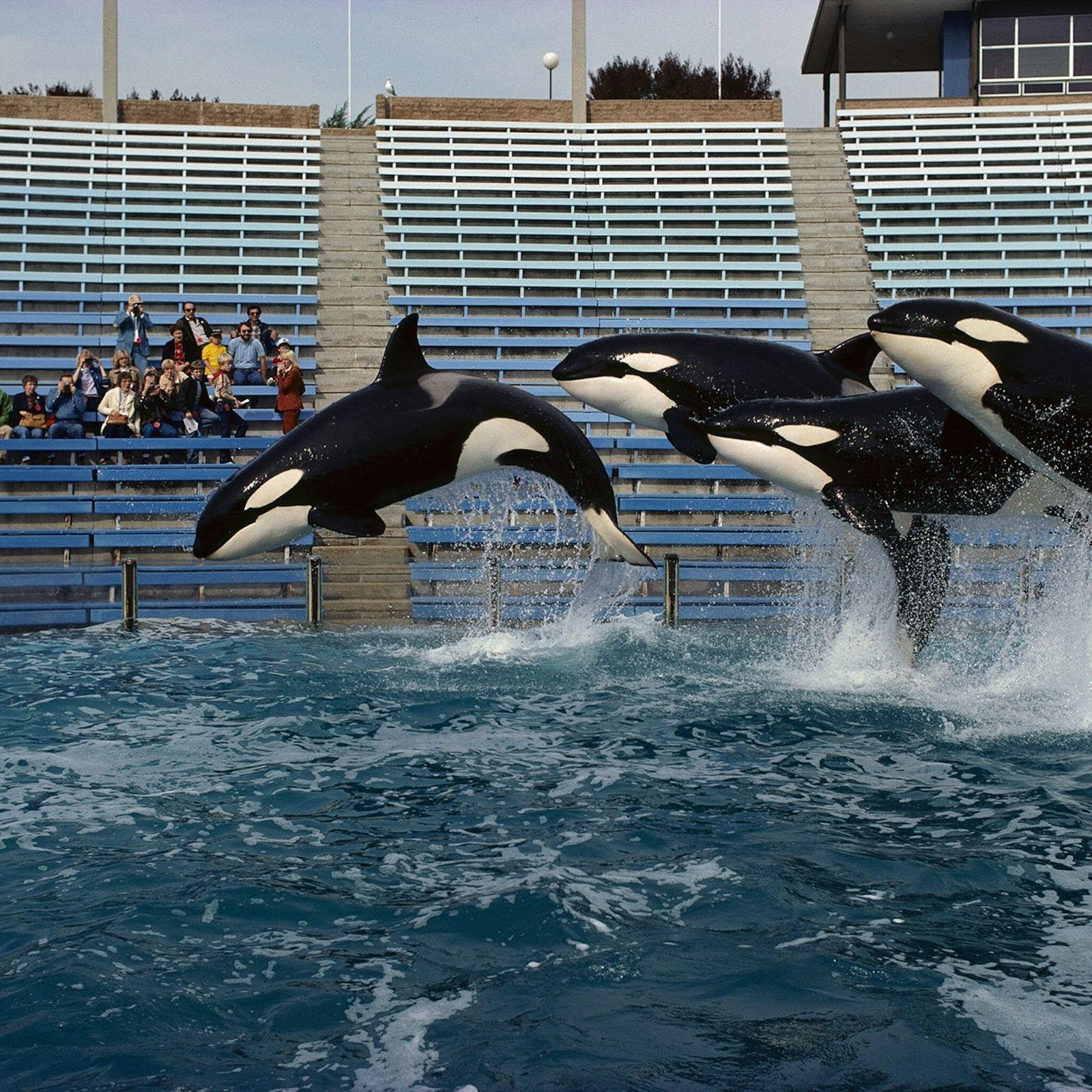 Vier Orcas Sea World San Diego