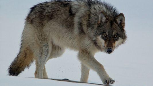 """Der """"berühmteste Wolf der Welt"""" und sein tragischer Tod"""