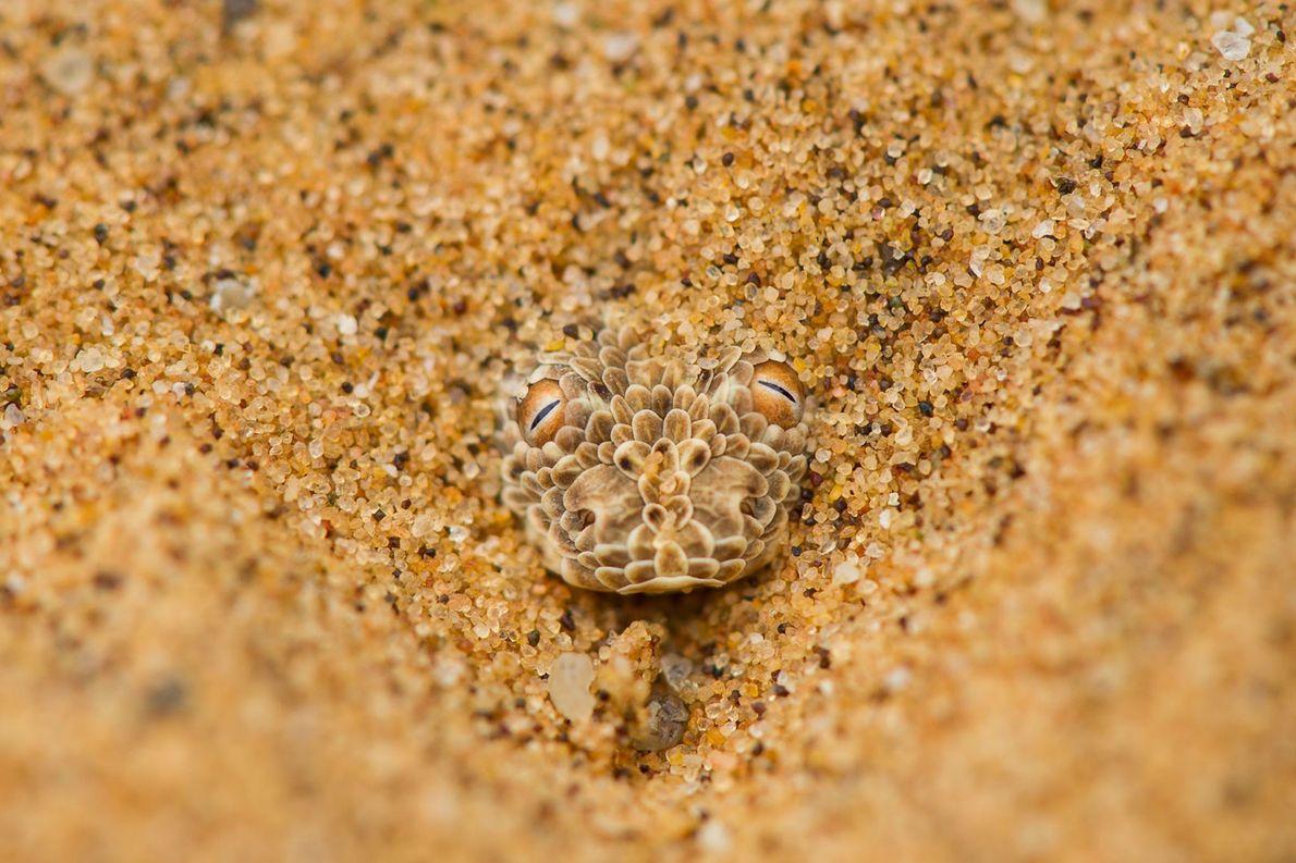 Zwergpuffotter. Namib, Namibia.