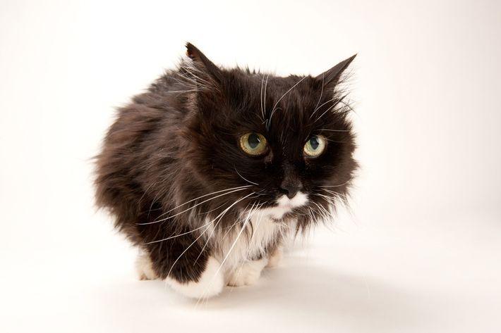 Hauskatze sieht während eines Fotoshootings