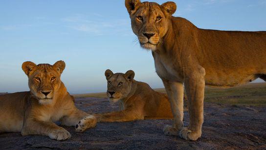 Eine Kamerafalle lichtete diese Löwinnen ab, die im Serengeti-Nationalpark in Tansania ausruhen.