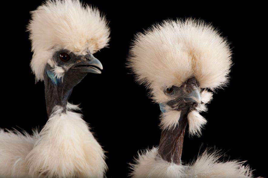 Diese Seidenhühner sind ebenfalls innen wie außen schwarz. Sie wurden im Fort Worth Zoo in Texas ...
